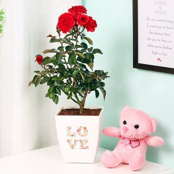Rose Plant with Teddy Combo