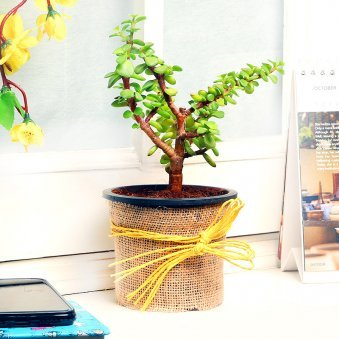 Jade Plant in a Vase Wrapped with Jute