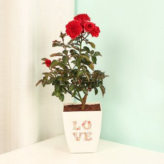 Everlasting Love - Red Rose Love Plant
