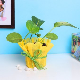Money Plant in Yellow Gift Wrap