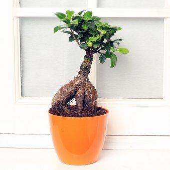 Ficus Micro Carpa Bonsai Plant in a Vase