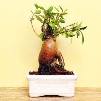Ficus Microcarpa Bonsai Plant in a Vase