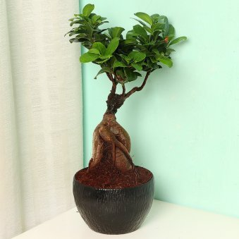 Ficus Microcarpa Bonsai Plant in Black Vase