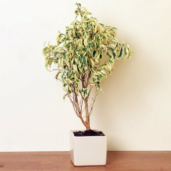 Ficus Starlight Bonsai Plant in a Vase