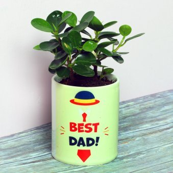 Ficus Iland Plant in Ceramic Vase for Dad