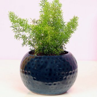 Foxtail Fern in Black Dotted Vase