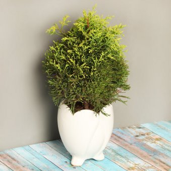Golden Cypress Plant in a Vase