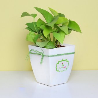 Golden Money Plant in White Vase