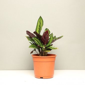 Maranta Plant in Ceramic Vase