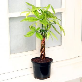 Pachira Bonsai Plant in Black Vase
