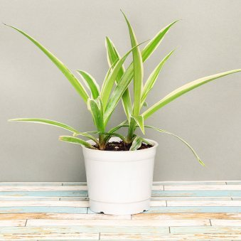 Spider Plant in a Vase