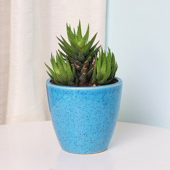 Haworthia Plant in a Vase