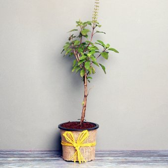 Tulsi Plant in a Vase Wrapped with Jute