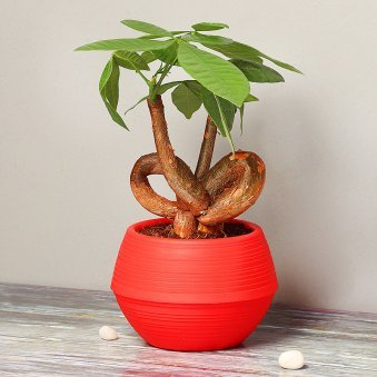 Heart Shaped Pachira Bonsai in Red Vase