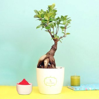 Ficus Bonsai Plant with Gulal Holi Combo