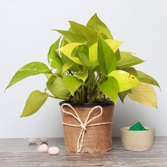 Money Plant with Gulal Holi Combo