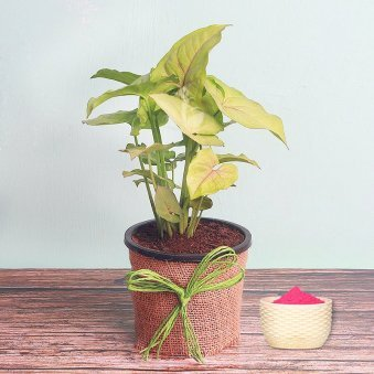 Syngonium Plant with Gulal Holi Combo