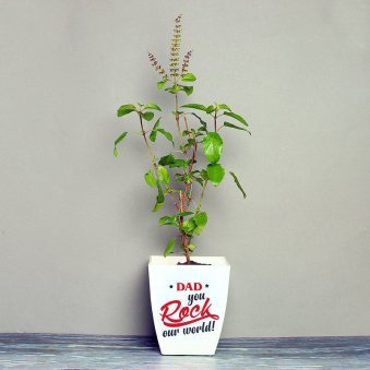 Tulsi Plant in White Vase for Dad