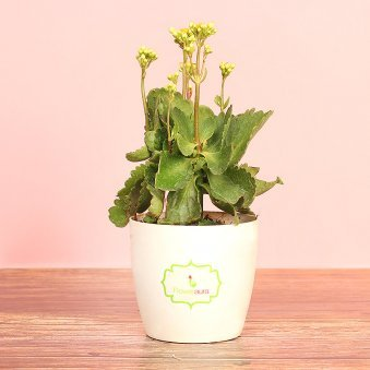 Kalanchoe Plant In Signature Pot