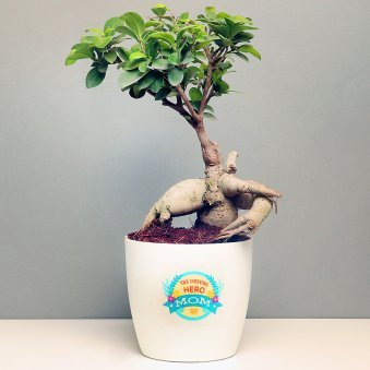 Ficus Microcarpa Plant in a Vase for Mom