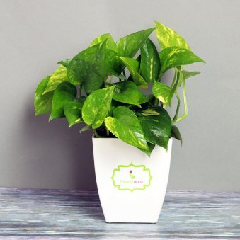 Money Plant in White Vase