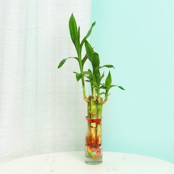 Lucky Bamboo Plant in a Shot Glass