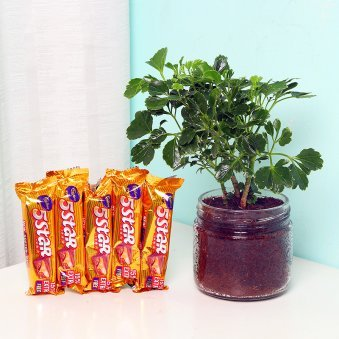 Aralia Plant with Chocolates