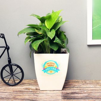 Money Plant in a White Vase for Mom