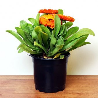 Orange Gerbera Plant in Black Vase