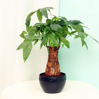 Pachira Bonsai in a Vase