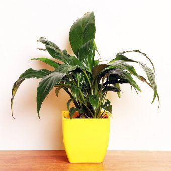 Peace Lily Plant in a Vase