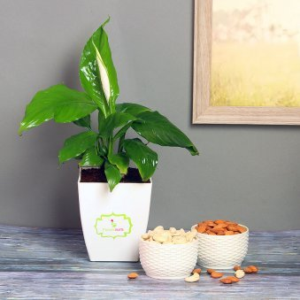 Peace Lily Plant with Dry Fruits