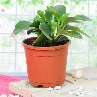 Peperomia Plant with Zoomed in View