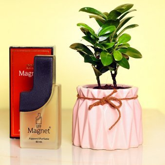 Ficus Compacta Plant and Perfume Combo