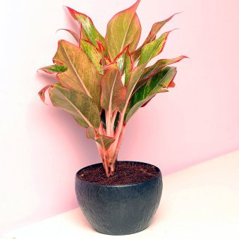 Aglonema Lipstick Plant in Black Vase