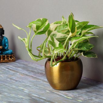 White Pothos Plant in Copper Colored Vase