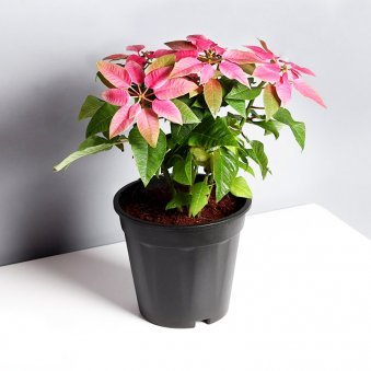 Poinsettia Plant in Black Vase