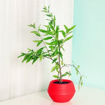 Pomegranate Plant in a Red Vase - A Potted Plant Gift