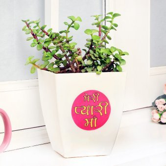 Pretty Jade Plant - A Plant in a Vase for Mother