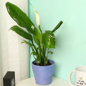 Peace Lily Plant in Blue Vase