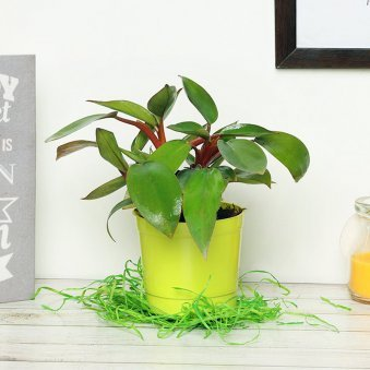 Red Philodendron Plant in a Vase