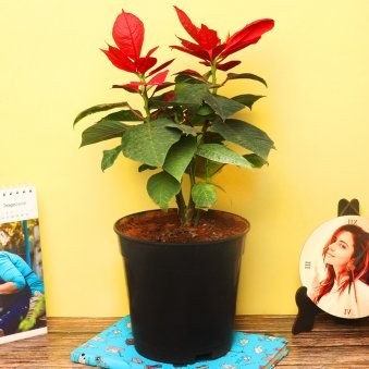 Red Poinsettia Plant in a Black Vase