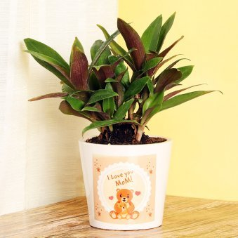 Rhoeo Plant in White Vase for Mom