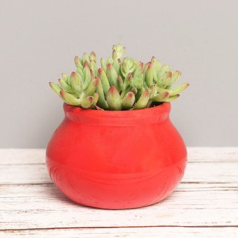 Sedum Plant In Red Pot
