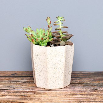 Sedum Plant In White Vase