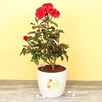 Smitten With Love - A Red Rose Plant