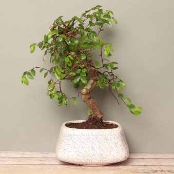 Ulmus S Shaped Bonsai in a Vase