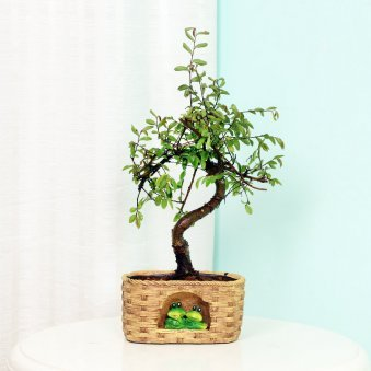 Ulmus S shaped Bonsai Plant in a Vase