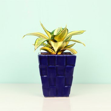 Gold Hahnii Snake Plant