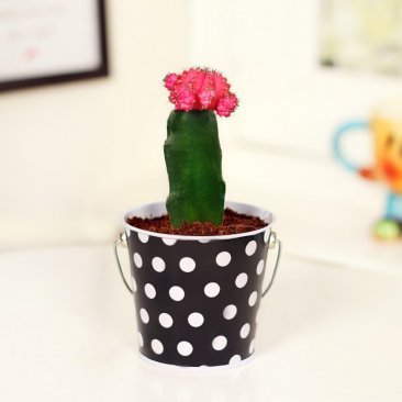 Pink Moon Cactus in Polka Bucket Metallic Vase